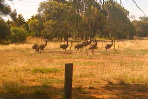 Emus on the fields